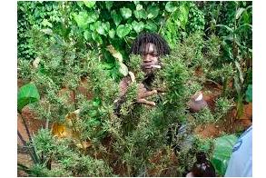 Jamaican Ganja Shortage……It's A Cultural Embarrassment