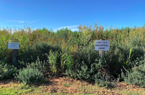 Australia: Residents Say That Hemp Farm Gives Them Nausea, Headaches
