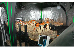 """East Hartford cops bust """"magic mushroom"""" grow after firefighters respond to kitchen fire !"""