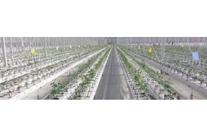 Europe's largest rose greenhouse switches to medical cannabis