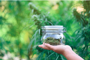 Does Your Weed Lose Its Potency As It Sits On Dispensary Shelves?