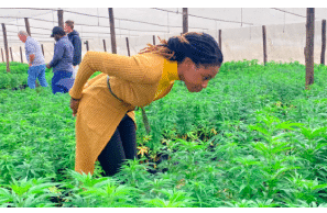 VOA Report: Cannabis-Growing Gathers Momentum in Zimbabwe