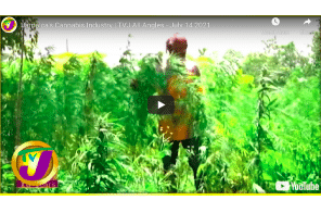 Jamaica's Cannabis Industry   TVJ All Angles - July 14 2021