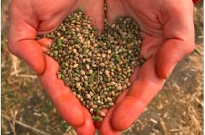 Dutch-bred hemp varieties licensed for distribution in the Americas