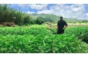 Hawaii Adopts Interim Rules for Hemp Processors