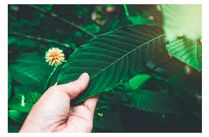 4 Best Kratom Strain For Depression And Anxiety