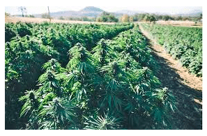 Cannabis Benchmarks Story: Oregon Cannabis Market Oversupply May Be Here to Stay