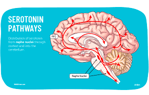 The Significant Accretion In Serotonin On The Accountability Of Cannabis Usage